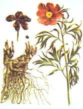растение пион, корень пиона применение,   свойства пиона, пион противопоказания,   настойка пиона давление, настойка пиона   уклоняющегося