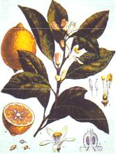 лимон растение, действие лимона,  использование лимона
