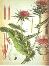 Растение расторопша, расторопша свойства, расторопша применение, печень человека, расторопша шрот применение