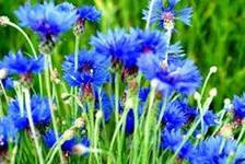 к многолетним травам относятся василек синий