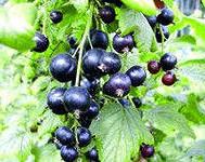 ягоды черной смородины, листья черной смородины свойства
