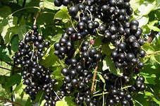 листья черной смородины свойства, лечение черной смородиной