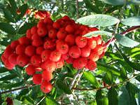 растение рябина, рябина состав, плоды рябины, свойства рябины, ягоды рябины